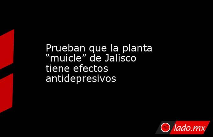 """Prueban que la planta """"muicle"""" de Jalisco tiene efectos antidepresivos. Noticias en tiempo real"""