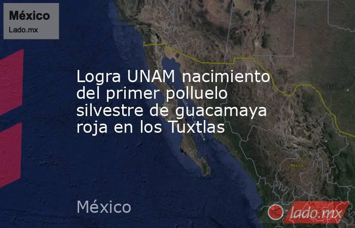 Logra UNAM nacimiento del primer polluelo silvestre de guacamaya roja en los Tuxtlas. Noticias en tiempo real
