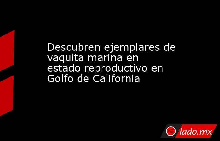 Descubren ejemplares de vaquita marina en estado reproductivo en Golfo de California. Noticias en tiempo real