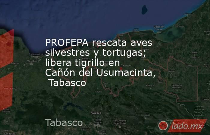PROFEPA rescata aves silvestres y tortugas; libera tigrillo en Cañón del Usumacinta,  Tabasco. Noticias en tiempo real