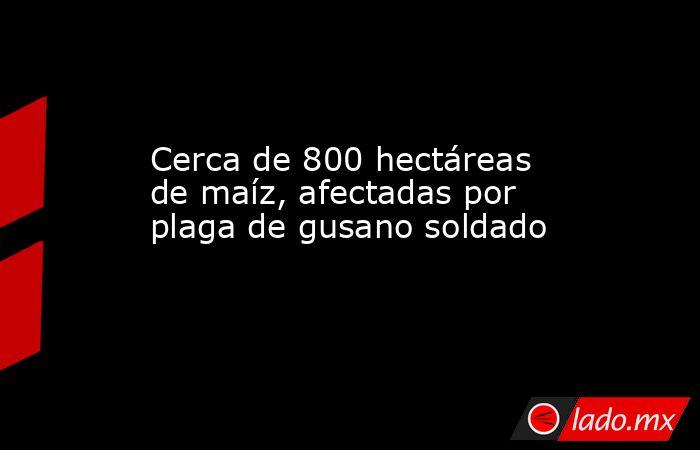 Cerca de 800 hectáreas de maíz, afectadas por plaga de gusano soldado. Noticias en tiempo real