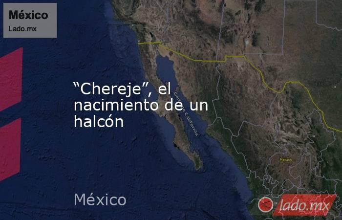 """""""Chereje"""", el nacimiento de un halcón. Noticias en tiempo real"""