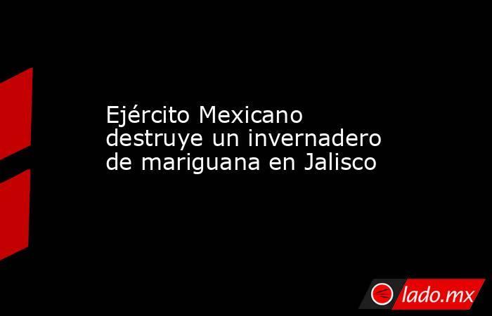 Ejército Mexicano destruye un invernadero de mariguana en Jalisco. Noticias en tiempo real