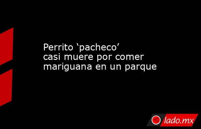 Perrito 'pacheco' casi muere por comer mariguana en un parque. Noticias en tiempo real