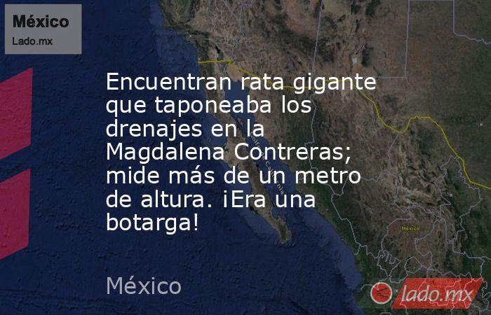 Encuentran rata gigante que taponeaba los drenajes en la Magdalena Contreras; mide más de un metro de altura. ¡Era una botarga!. Noticias en tiempo real