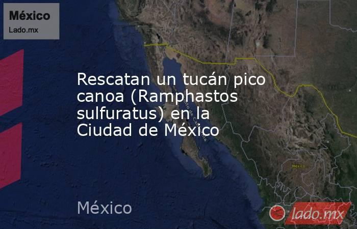 Rescatan un tucán pico canoa (Ramphastos sulfuratus) en la Ciudad de México. Noticias en tiempo real