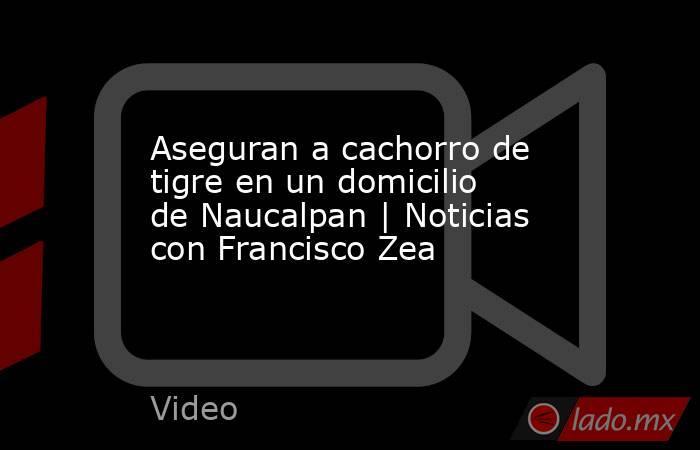 Aseguran a cachorro de tigre en un domicilio de Naucalpan   Noticias con Francisco Zea. Noticias en tiempo real