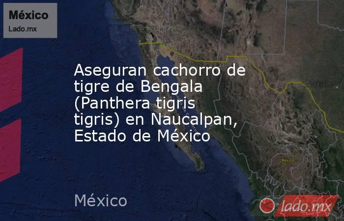 Aseguran cachorro de tigre de Bengala (Panthera tigris tigris) en Naucalpan, Estado de México. Noticias en tiempo real