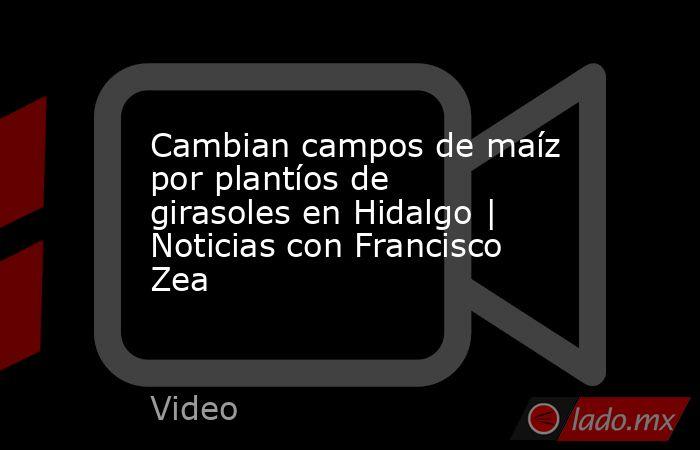 Cambian campos de maíz por plantíos de girasoles en Hidalgo   Noticias con Francisco Zea. Noticias en tiempo real