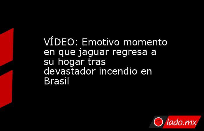 VÍDEO: Emotivo momento en que jaguar regresa a su hogar tras devastador incendio en Brasil. Noticias en tiempo real