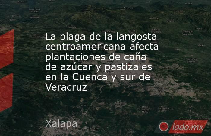 La plaga de la langosta centroamericana afecta plantaciones de caña de azúcar y pastizales en la Cuenca y sur de Veracruz. Noticias en tiempo real