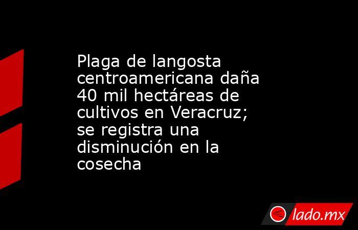 Plaga de langosta centroamericana daña 40 mil hectáreas de cultivos en Veracruz; se registra una disminución en la cosecha. Noticias en tiempo real