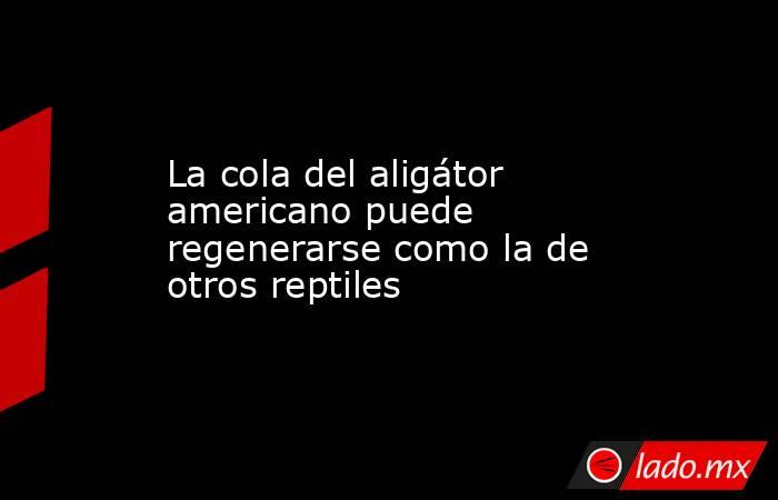La cola del aligátor americano puede regenerarse como la de otros reptiles. Noticias en tiempo real