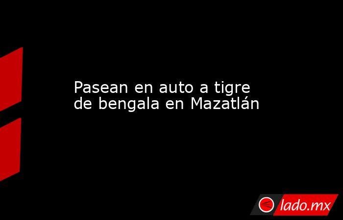 Pasean en auto a tigre de bengala en Mazatlán. Noticias en tiempo real
