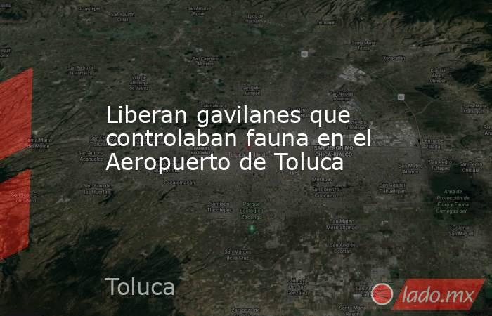 Liberan gavilanes que controlaban fauna en el Aeropuerto de Toluca. Noticias en tiempo real