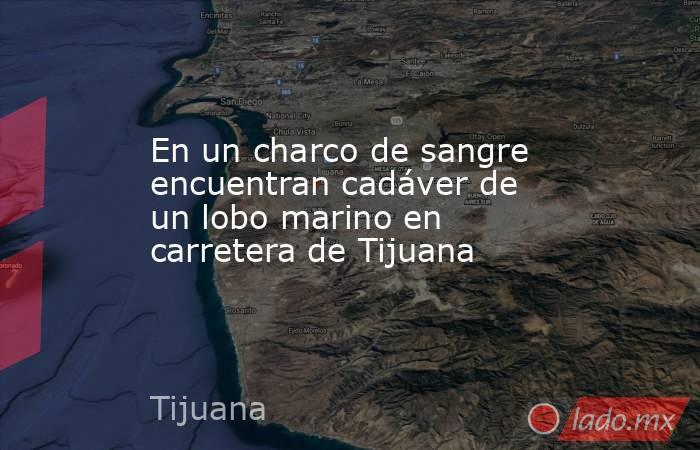 En un charco de sangre encuentran cadáver de un lobo marino en carretera de Tijuana. Noticias en tiempo real