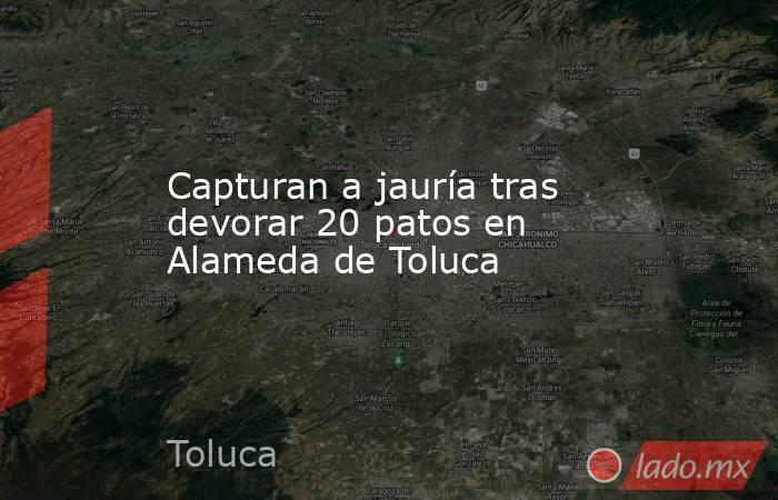Capturan a jauría tras devorar 20 patos en Alameda de Toluca. Noticias en tiempo real